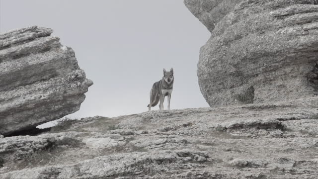 vídeos de stock, filmes e b-roll de w/s wolf walking between rocks - pedra rocha