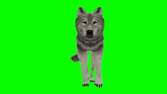 vídeos de stock e filmes b-roll de wolf walking green screen (loopable) - perfil vista lateral