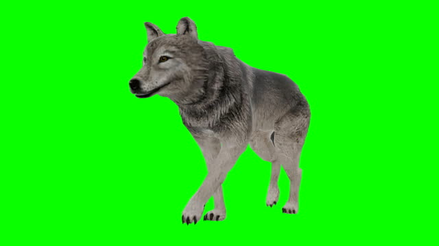 wolf walking green screen (loopable) - green matte stock videos & royalty-free footage