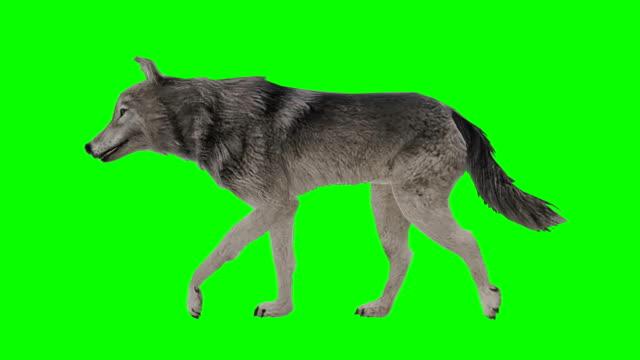 vídeos de stock, filmes e b-roll de lobo andar tela verde (loopable) - cauda