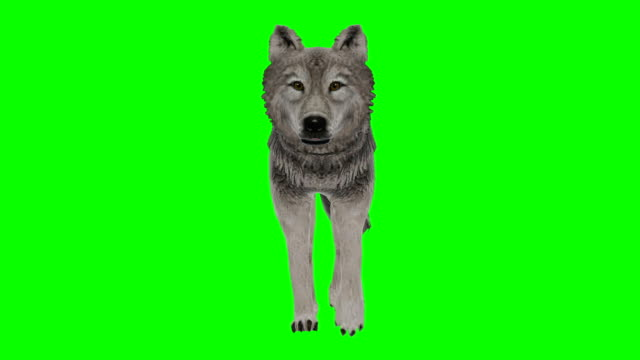 Wolf Walking Green Screen (Loopable)