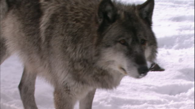 a wolf walks in the snow and sniffs the ground. - annusare video stock e b–roll