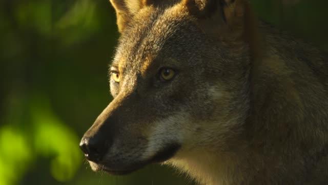 wolf (canis lupus) western caucasus - animal head stock videos & royalty-free footage