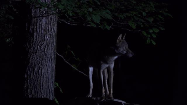 stockvideo's en b-roll-footage met wolf (canis lupus) westelijke kaukasus - dierenhol