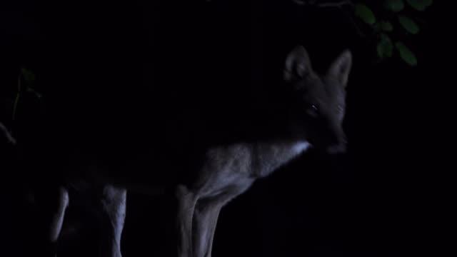 wolf (canis lupus) westlichen kaukasus - einzelnes tier stock-videos und b-roll-filmmaterial