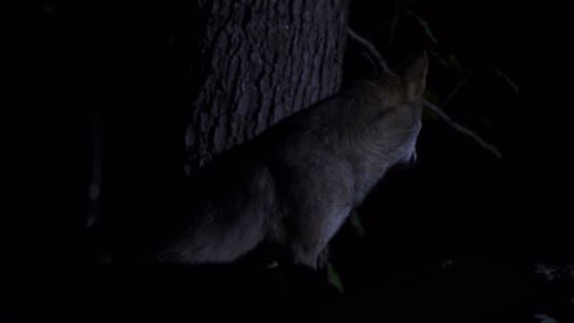 wolf (canis lupus) western caucasus - animal eye stock videos & royalty-free footage