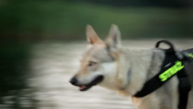 wolf-like guard dog