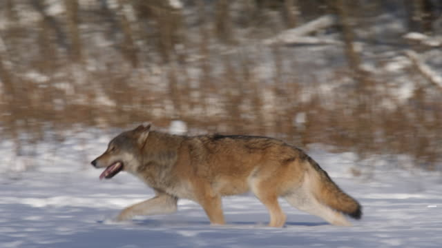 wolf's agression - aggression stock videos & royalty-free footage