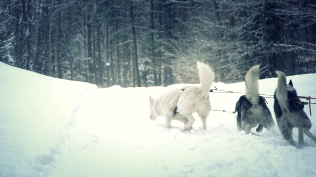wolfs running in slow motion