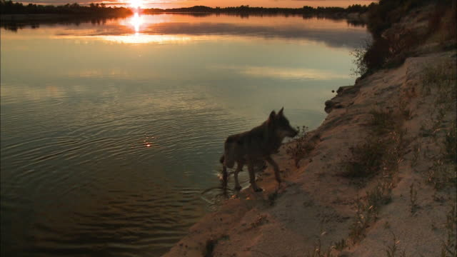 wolve at the river sunset - paw print stock videos & royalty-free footage