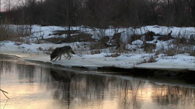 wolve at the river - group of animals stock videos and b-roll footage