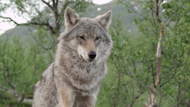 ms wolve / norway - wolf stock videos & royalty-free footage