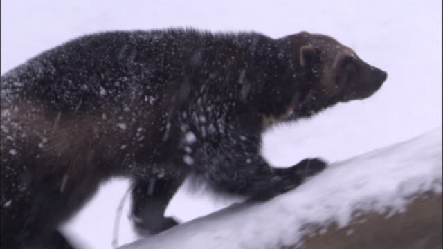 wolverine climbs fallen tree in snowy boreal forest, sweden - greed stock videos and b-roll footage