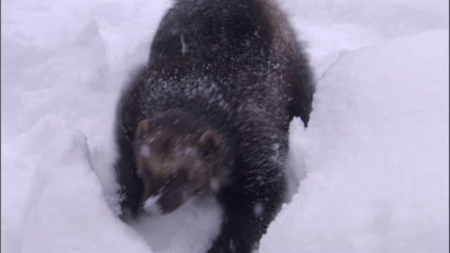 wolverine forages in snowy boreal forest, sweden - greed stock videos and b-roll footage