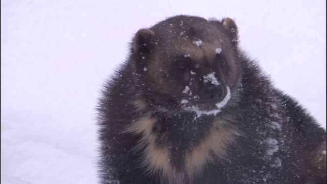 wolverine in snowy boreal forest, sweden - greed stock videos & royalty-free footage