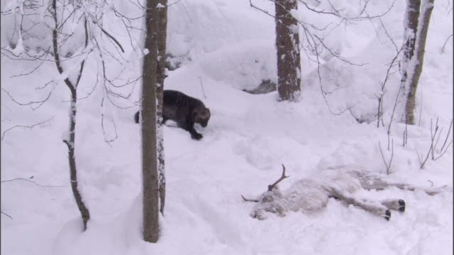 wolverine scavenges reindeer carcass in snowy boreal forest, sweden - dead animal stock videos & royalty-free footage