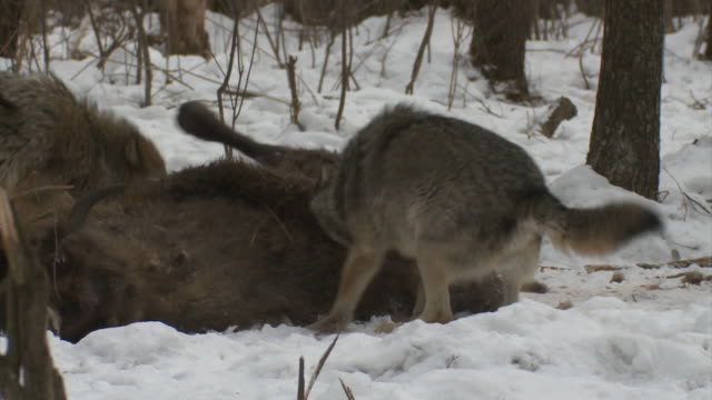 wolves and dead bison cub - tearing stock videos & royalty-free footage