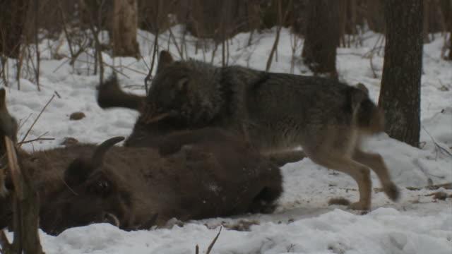オオカミと死亡したバイソン カブ - 獲物を狩る点の映像素材/bロール