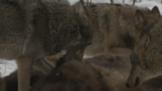 Wolves and dead bison cub