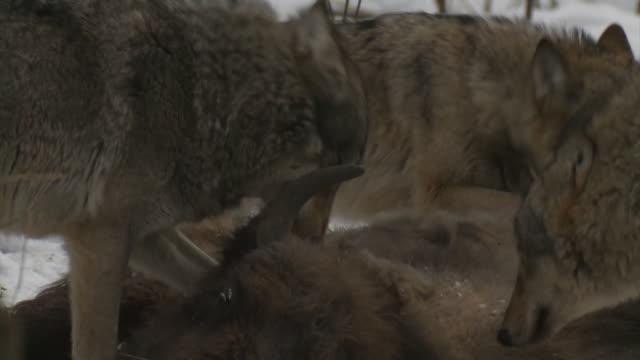 wölfe und toten bison cub - gewalt stock-videos und b-roll-filmmaterial