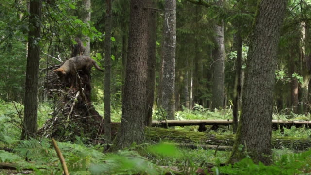 wolves and fallen tree - fallen tree stock videos and b-roll footage