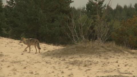 vidéos et rushes de loups et steppe - chemin de terre