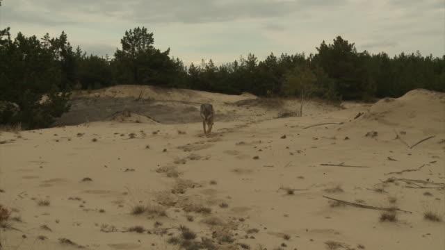 vídeos y material grabado en eventos de stock de lobos y estepa - estepa