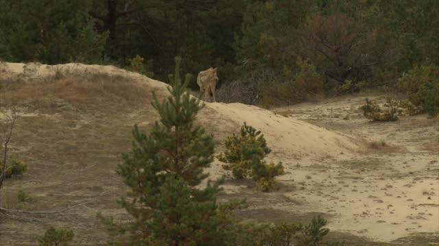 stockvideo's en b-roll-footage met wolven en steppe - steppe