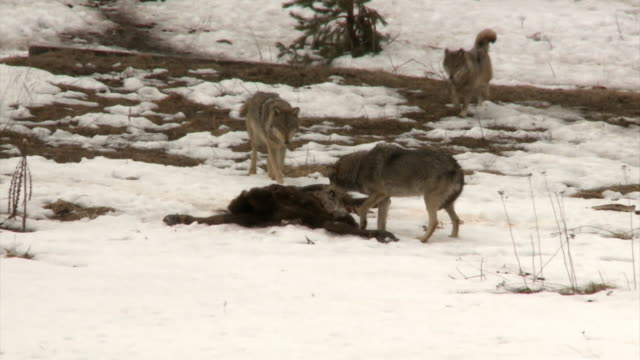 Wolves and victim