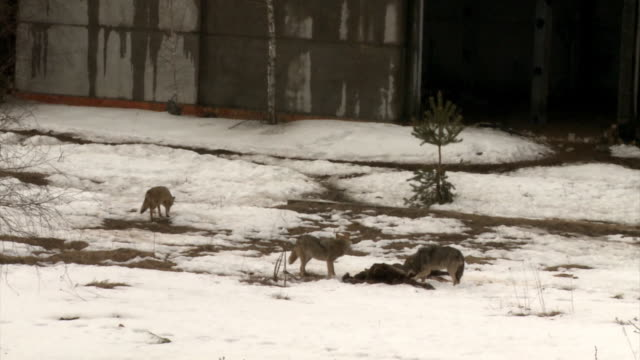 wolves and victim - small group of animals stock videos & royalty-free footage