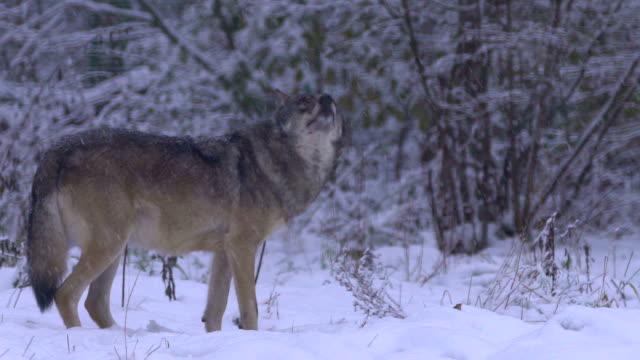 vidéos et rushes de loups et hiver - groupe d'animaux