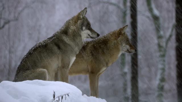 vídeos y material grabado en eventos de stock de lobos y el invierno - un animal