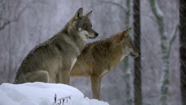 Wolven en winter