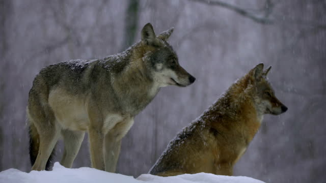 wolves and winter - group of animals stock videos and b-roll footage