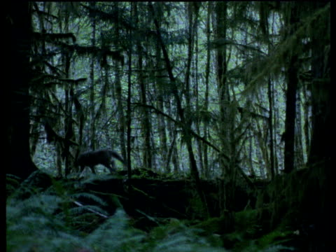 vídeos de stock e filmes b-roll de wolves appear from undergrowth and walk along forest floor under canopy of conifers - 1995