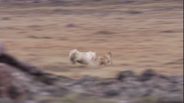 wolves chase and catch a caribou calf on the tundra of nunavut, canada. available in hd. - cacciare video stock e b–roll