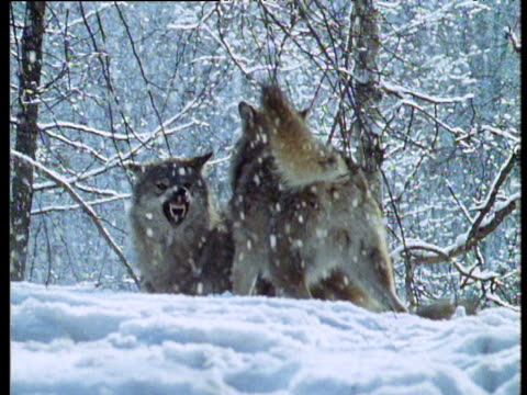 Wolves chase and play fight in snow, CIS