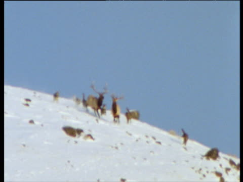 Wolves chase red deer stags down snowy slope (out of focus but rarely filmed behaviour), USA