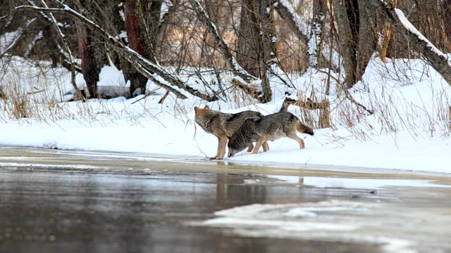 wolves drink water - aggression stock videos & royalty-free footage