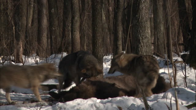 wolves eating a buffalo - tiergruppe stock-videos und b-roll-filmmaterial