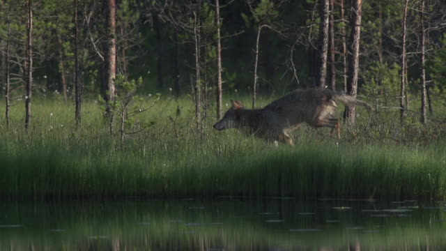 wolves emotions - wolf stock videos & royalty-free footage