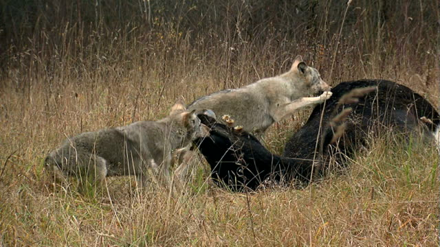 Wolves fighting over meat