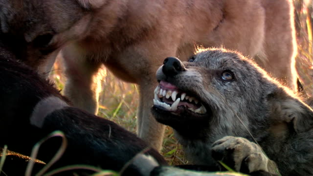 wolves fighting over meat - aggression stock videos & royalty-free footage