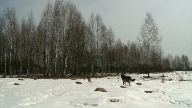 3 wolves in forest
