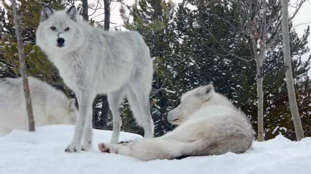 Wolves in snow, Montana, in winter