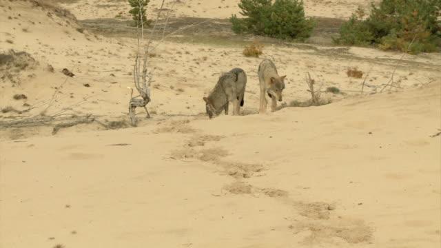 vídeos y material grabado en eventos de stock de lobos en estepa - estepa