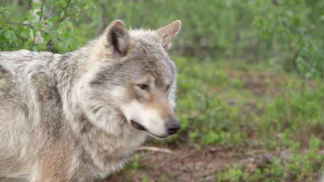 ms pan wolves / norway - wolf stock videos & royalty-free footage