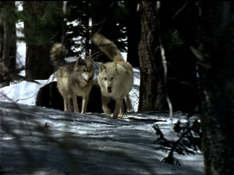 wolves run through a snowy forest. - evergreen stock videos & royalty-free footage