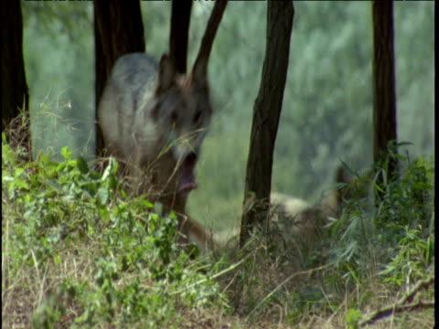 wolves run through forest - gruppo di animali video stock e b–roll