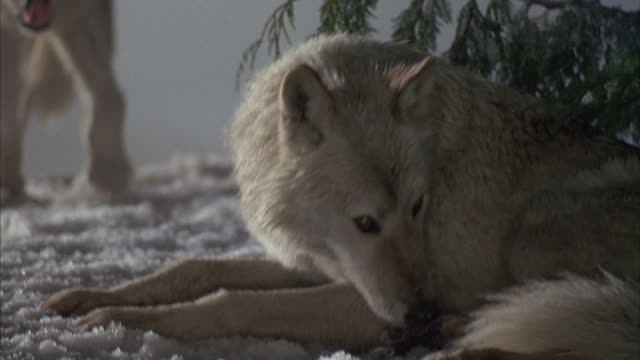 wolves snarl at each other in a snowy forest. - other stock videos & royalty-free footage